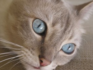 Blueeyed-cat